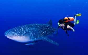 Picture of whale shark in Moalboal