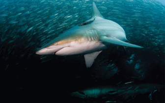 Picture of shark diving Mexico
