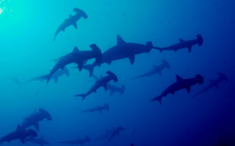 Picture of hammerheads at Cocos Island