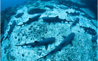 Picture of White tip reef sharks Costa Rica