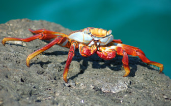 Picture of a light foot crab Galapagos