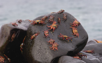 Picture of crabs in the Galapagos