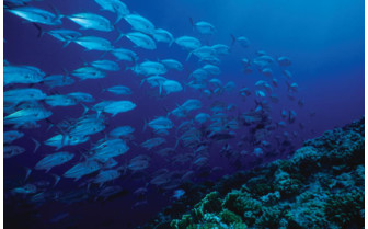 Picture of a school of jacks