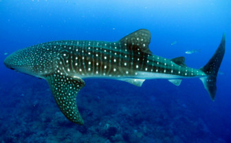 Picture of a whale shark in Africa