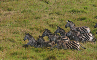 Picture of zebras in Africa