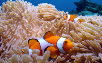 Picture of clown fish anemone