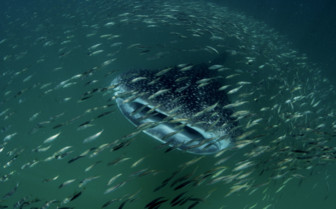 Picture of a whale shark at Mafia Island