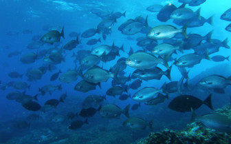Picture of Silver fish Lord Howe Island