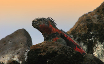 Picture of Galapagos Iguana