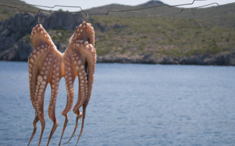 Octopus Drying in the Sunshine