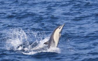 West Coast Mexico, Dolphin