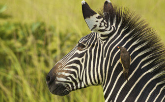 Close up of Zebra in Africa