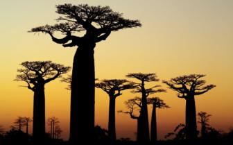 Baobabs at Sunset