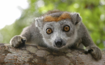 Crowned Lemur, Madagascar