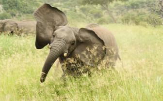 Elephant, Mozambique