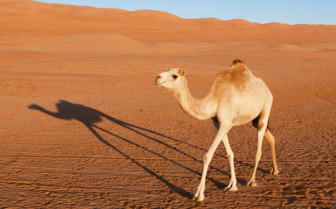 A Camel in the Desert