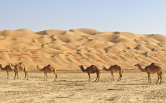 Camels Standing in the Empty Quarter