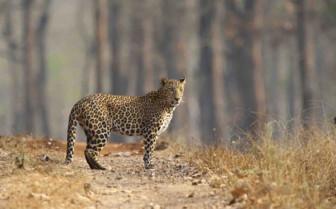 Cheetah in flatlands