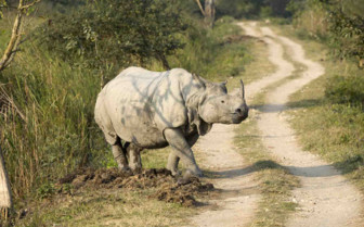 Large Rhino crossing road