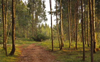 A Track Winding Past Eucalyptus Trees in the Forest