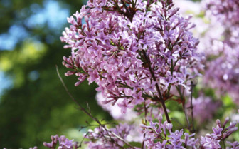 Lilac Flowers on a Spring Day in Sweden