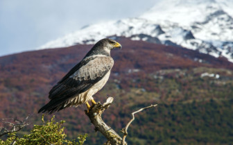 Bird of Prey in Torres del Paine