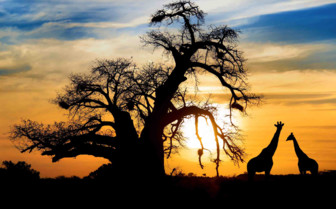 Sunset through the trees and giraffes