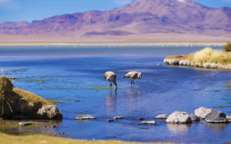 Flamingoes in the Atacama