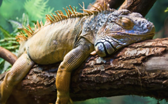 A Sleeping Iguanza