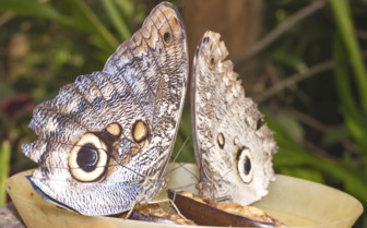 A Giant Caligo Butterfly Pair