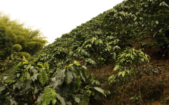 Coffee Plants in Risaralda