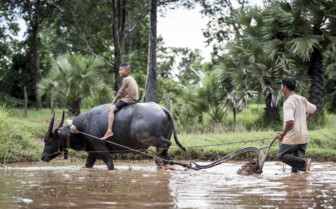 Water Buffalo Handlers
