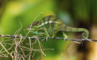 A Chameleon on a Branch