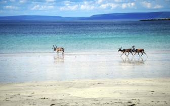 Reindeer on the Beach - Finnmark County