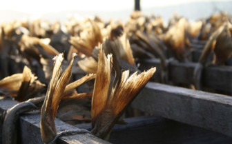 Drying Fish Tails