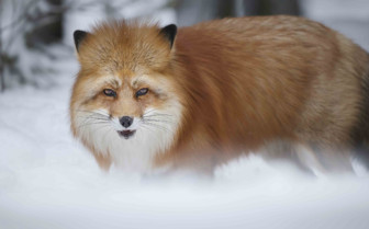 A Red Fox in the Snow