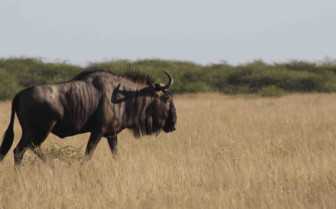 Wildebeest in Kalahari