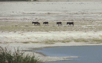 Donkeys crossing the Makgadikgadi