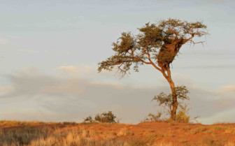 Tree in Kalahari