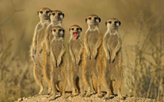 Meerkats standing to attention