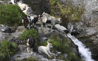 Goats Clambering in Naeroyfjord