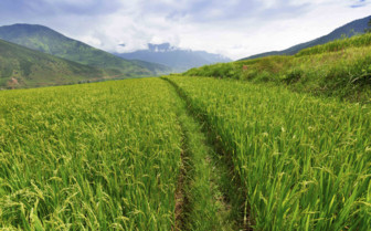 Tracks through the Paddy Fields