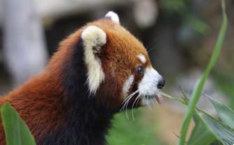 Red Panda - Bhutan