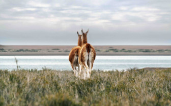 Behinds of Guanacos