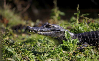 Caiman in Ibera Wetlands