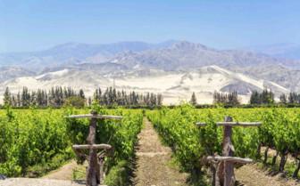 Pisco Vineyard Ica