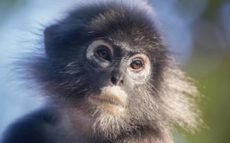 A Dusky Leaf Monkey