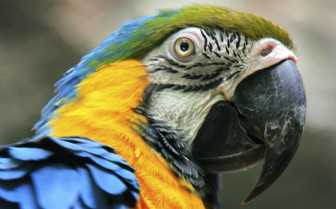 A Green, Yellow and Blue Macaw