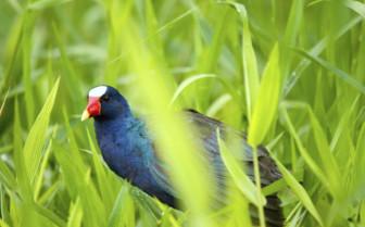 Bird life in Tortuguero National park