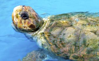 Green Sea Turtle in Costa Rica